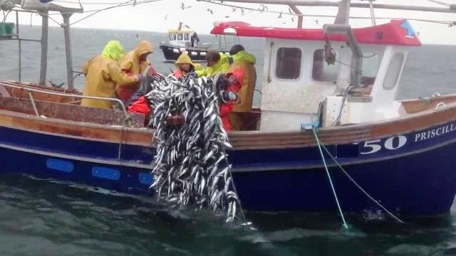 Ege, sardalye balığını marka  Yapmaya hazırlanıyor…