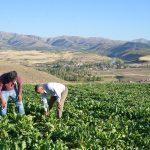 Türkiye Şeker Üretiminde de  söz sahibi değil