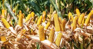 Yerli ve milli mısır tohumu tarla günü etkinliği yapıldı