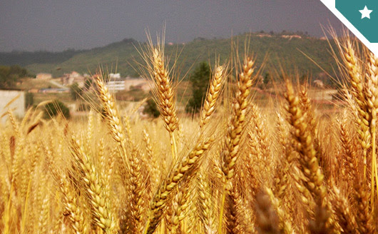 Türkiye buğdayda kırmızı çizgiye yaklaştı