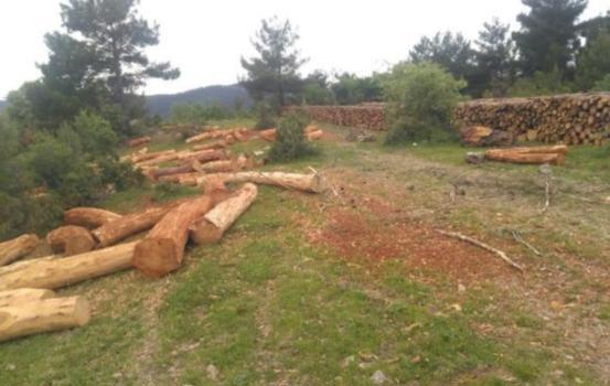 Kozluören'de ağaç katliamı  başladı