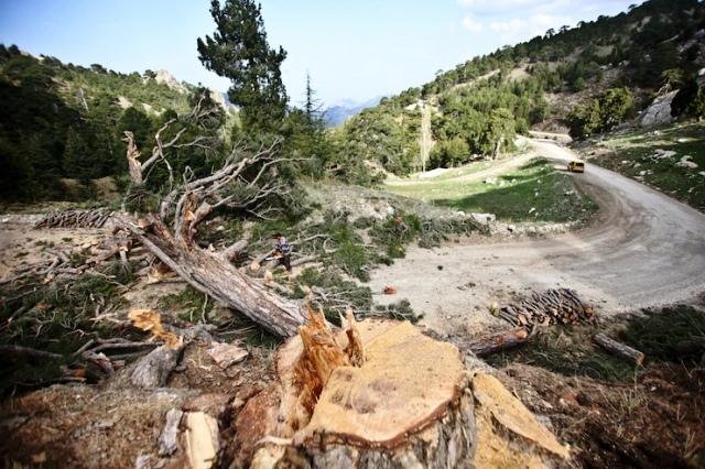 Antalya'nın  son ağaçlarıda yol için kesildi