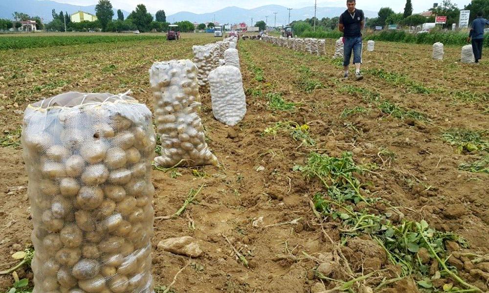 Patateste fiyatlar düşüyor, üretici ikilemde