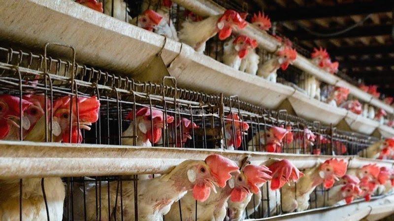 MİGROS yüz binlerce hayvana kafeslerde eziyet etmesin.
