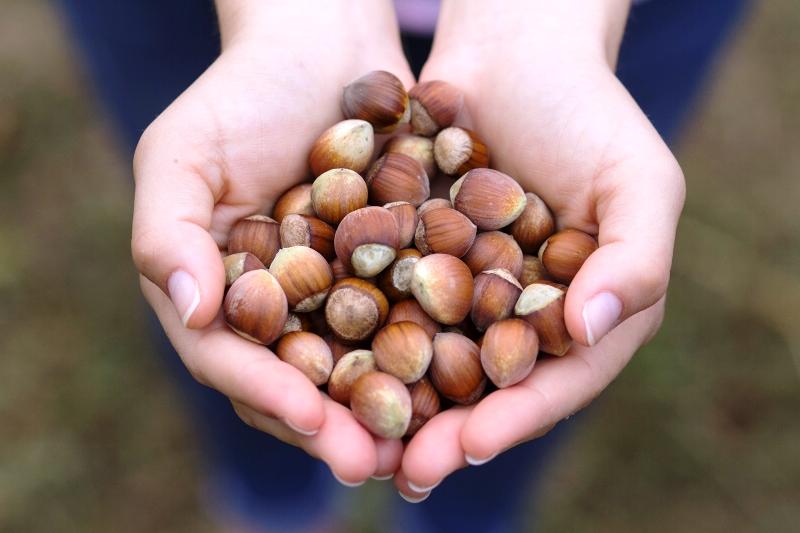 """ILO-Ferrero ortaklığı, Türkiye'de fındık hasadında çocuk işçiliğini ortadan kaldırmayı hedefliyor"""""""