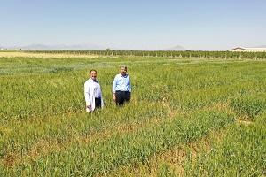 2 bin yıllık Ahmet Buğdayı dünya sofralarıyla buluşacak